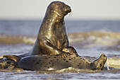 Grey Seal (Grypus halichoerus) two sub-adults play fighting in surf. North Lincolnshire, UK. November 2005.