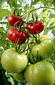 Organic tomatoes (Lycopersicon escolentum) ripening on vine in greenhouse. Langley. British Columbia. Canada