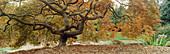 Japanese Maple (Acer palmatum) contorted trunk with autumn foliage. Kubota, Seattle. Washington. USA