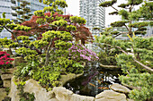 Dwarf trees & shrubs around koi pond in urban rooftop garden [Rhododendron cv., Acer palmatum cv., Pinus sp.]. Patterson, Vancouver, British Columbia. Canada