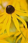 Black-eyed Susan blossom extreme detail (Rudbeckia laciniata). Van Dusen, Vancouver, BC.