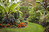 Orange Nonstop Series Begonias under Bananas, Elephant Ears in tropical garden w/ winding grass path (Ensete ventricosum; Ensete ventricosum Maurelii ; Begonia x tuberhybrida Orange Nonstop Series ; Colocasia esculenta Black Magic )...