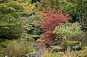 Redvein Enkianthus by dry stream bed w/ Japanese Maples (Enkianthus campanulatus; Acer palmatum). Bellevue Botanical Garden, WA.