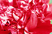 Abstract, Background, Backgrounds, Botany, Close up, Close-up, Closeup, Color, Colour, Daytime, Delicate, Detail, Details, Ephemeral, Exterior, Flower, Flowers, Horizontal, Horticulture, Natural background, Natural backgrounds, Nature, Outdoor, Outdoors,