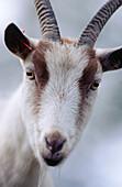 Close up of a goat. Västerbotten. Sweden