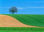 Oak (Quercus robur) on a field with grass. Skane. Sweden