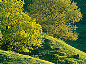 Oaks (Quercus Robur) and Grass field in Skane. Sweden