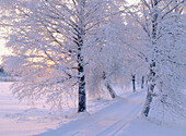 A tree-lined road with snowcovered birches , a wintereve. Vallen. Vasterbotten. Sweden