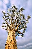 Quiver tree (Aloe dichotoma) crown. Keetmanshoop. Namibia