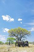 Elephants (Loxodonta africana) standing below shadow tree. Etosha National Park. Namibia