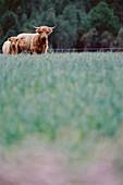 Scottish Highland cattle on field, cow and calf. Bjurliden, Västerbotten, Sweden
