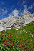 sea of alpine roses with lodge Gruttenhütte and group of hikers, Treffauer and Kaiserkopf in background, Kaiser range, Tyrol, Austria