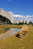 horses on pasture of Große Fanesalm, Alta Via delle Dolomiti No. 1, Parco Naturale Fanes-Sennes, Dolomites, South Tyrol, Alta Badia, Italy