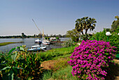 Flowering bush, palm trees and boats at landing stage in the Nile, Crocodile Island, Luxor, Egypt, Africa