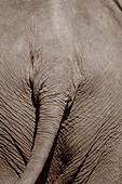 Close up of an elephant, rear view, Khao Yai National Park, Thailand