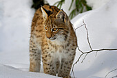 Lynx cub standing on snow and looking interested, outdoor-enclosure, Bavarian Forest National Park, Lower Bavaria, Bavaria, Germany