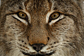 Portrait of male lynx, Lynx, Lynx lynx, outdoor-enclosure, Bavarian Forest National Park, Lower Bavaria, Bavaria, Germany