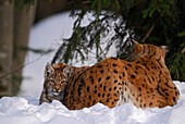 Lynx cub snuggling against mother, Lynx, Lynx lynx, outdoor-enclosure, Bavarian Forest National Park, Lower Bavaria, Bavaria, Germany
