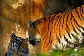 Two Siberian tigers in interaction, couple looking in each other eyes, Panthera tigris altaica