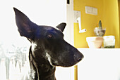 Alert, Animal, Animals, At home, Black, Close up, Close-up, Closeup, Color, Colour, Contemporary, Daytime, Dog, Dogs, Head, Heads, Home, Horizontal, Indoor, Indoors, Inside, Interior, Mammal, Mammals, Nose, Noses, One, One animal, Pet, Pets, Portrait, Po