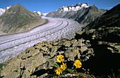 Aletsch Glacier with Yellow Armica flowers. Alps. Switzerland