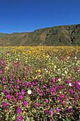 Sand Verbena (Abronia villosa), Dune Evening Primrose (Oenothera deltoides), and Desert Sunflower (Geraea canescens), Anza-Borrego Desert State Park, California