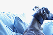 Alert, Animal, Animals, At home, Color, Colour, Comfort, Comfortable, Contemporary, Couch, Couches, Cushion, Cushions, Daytime, Dog, Dogs, Home, Horizontal, Indoor, Indoors, Inside, Interior, Mammal, Mammals, One, One animal, Pet, Pets, Rest, Resting, So