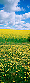 Yellow daisies and crops. New South Wales. Australia