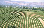 Vineyards in McLaren Valley near Adelaide, South Australia
