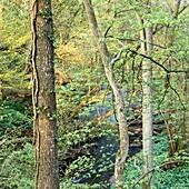 Deciduous forest in ravine. Stenshuvud National Park. Skåne, Sweden