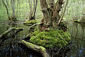 Alder Swamp (Alnus Glutinosa). Stenshuvud National Park. Skane. Sweden