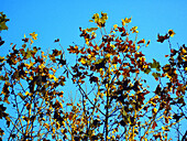 Autumn, Autumnal, Blue, Blue sky, Color, Colour, Daytime, Exterior, Fall, Leaf, Leaves, Low angle view, Nature, Outdoor, Outdoors, Outside, Season, Seasons, Skies, Sky, Tree, Trees, View from below, Worm s eye view, Yellow, J08-460058, agefotostock