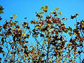 Außen, Baum, Bäume, Blatt, Blätter, Blau, Blauer Himmel, Farbe, Froschperspektive, Gelb, Herbst, Himmel, Jahreszeit, Jahreszeiten, Natur, Tageszeit, J08-460058, agefotostock