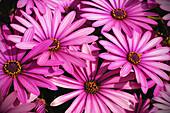 Background, Backgrounds, Botany, Color, Colour, Concept, Concepts, Delicate, Flower, Flowers, Horticulture, Natural background, Natural backgrounds, Nature, Plant, Plants, Purple, Special effects, J08-516797, agefotostock