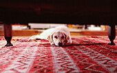 Animal, Animals, At home, Carpet, Carpets, Color, Colour, Contemporary, Dog, Dogs, Home, Horizontal, Imperturbable, Indoor, Indoors, Inside, Interior, Laziness, Lazy, Living room, Living rooms, Looking at camera, Lying down, One, One animal, Pet, Pets, S