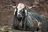 Female goat. La Gomera, Canary Islands. Spain