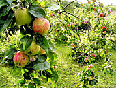 Agriculture, Aliment, Aliments, Apple, Apple tree, Apple trees, Apples, Branch, Branches, Color, Colour, Country, Countryside, Daytime, Estonia, Estonian garden, Exterior, Farming, Field, Fields, Food, Fruit, Fruit tree, Fruit trees, Fruits, Hang, Hangin