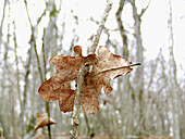 Autumn, Autumnal, Branch, Branches, Close up, Close-up, Closeup, Color, Colour, Concept, Concepts, Daytime, Deciduous, Detail, Details, Dried, Dry, Exterior, Faded, Fall, Forest, Forests, Horizontal, Leaf, Leaves, Nature, One, Outdoor, Outdoors, Outside,