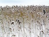 Aussen, Außen, Detail, Details, Farbe, Gras, Horizontal, Jahreszeit, Jahreszeiten, Natur, Pflanze, Pflanzen, Schnee, Tageszeit, Verschneit, Wetter, Winter, J20-306883, agefotostock