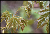Opening leaves of Maple tree (Acer sp.). Bavaria. Germany