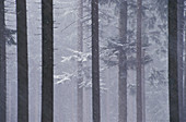 Snowfall in spruce-forest, Bavarian Forest, Germany