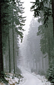 Norway Spruces (Picea abies) forest. Bavaria. Germany