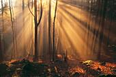 Foggy Bavarian forest, late autumn. Beeches (Fagus sylvatica) and Spruces (Picea abies)
