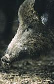 Wild boar (Sus scrofa). Bavarian Forest. Bavaria, Germany