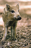 Young Wild boar (Sus scrofa).Bavarian Forest, Bavaria, Germany