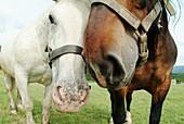 Horses on a meadow. Kötzting. Upper Palatinate. Bavaria. Germany