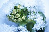 White Butterbur (Petasites albus). Bavarian Forest. Germany