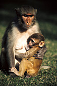 Rhesus Macaque (Macaca mulatta) is the best known monkey in India, which lives in a variety of habitate including villages, farms, forests and mountains.