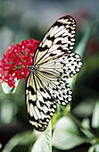 White Tree Nymph butterfly (Idea leuconoe) on flowers