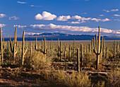 Saguaro cacti, Cactus, Sonora Desert, Saguaro National Monument, Arizona, USA